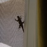Lizard in our house